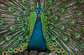 Blue asiatic peacock, at the bird park in Kuala Lumpur, Malaysia, Southeast Asia