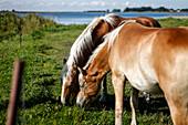 Two brown horses grazing, Bodden, Baltic Sea, Waase, Ummanz Peninsula, Island of Ruegen, Mecklenburg West-Pomerania, Germany