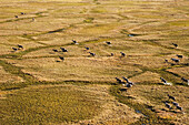 Aerial of Barren ground caribou feeding on tundra near Teshekpuk Lake Alaska National Petroleum Reserve