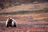 View of a Grizzly Bear standing in the fall tundra, Denali National Park, Interior Alaska