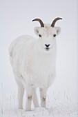Close up of a Dall sheep ewe in winter on Sheep Mountain, Kluane National Park, Yukon Territory, Canada