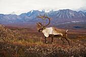 Bull caribou on Autumn tundra with Alaska Range in the background, Denali National Park, Interior Alaska