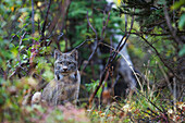 View of a wild Canada Lynx sitting beneath an alder tree in Denali National Park, Alaska, Interior, Fall