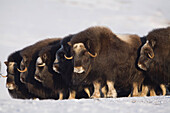 Musk-ox cows in a defensive lineup during Winter on the Seward Peninsula near Nome, Arctic Alaska