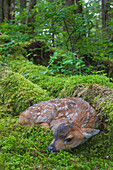 Black-tailed deer fawn lying in moss covered rainforest, Montague Island, Prince William Sound, Southcentral Alaska, Summer