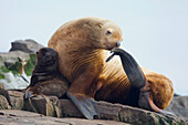 Steller sea lion female and young pup hauled out on rock with female scratching with fin, Prince William Sound, Southcentral Alaska, Summer