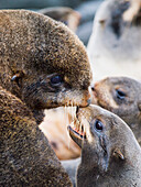 Northern Fur Seals with their pups in the breeding rookery, summer, St. Paul Island, Southwest Alaska