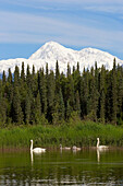 Pair of Trumpeter swans with cygnets on Byers lake with Denali in the background Summer Interior Alaska