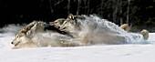 Pack of Grey Wolves Running Through Deep Snow Captive AK SE Winter Composite