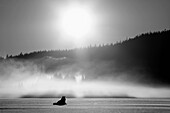 Wolf basking in sunlight near Juneau. Winter in the Tongass National Forest of Southeast Alaska. Composite.