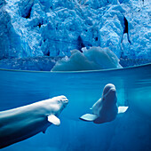 Belugas Underwater w/View of Glacier Composite