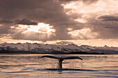 The fluke of a Humpback Whale rises out of the water as it swims toward the setting sun. Summer in Southeast Alaska.