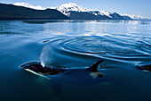 Orca Whales surface in Lynn Canal with the Chilkat Mountains in the distance, Inside Passage, Alaska