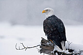 Bald Eagle perched on log during snow storm Chilkat River near Haines Alaska Southeast Winter