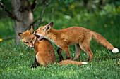 Adolescent Red Fox Play Together Elmendorf AK SC Summer Golf Course