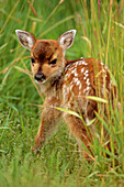 Young Sitka Blacktail fawn in grass Captive Alaska Wildlife Conservation Center Spring
