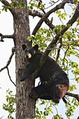 CAPTIVE Black bear climbing in a Cottonwood tree at the Alaska Wildlife Conservation Center during Summer in Southcentral Alaska