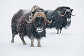 View of a pair of muskoxen bulls at the Alaska Wildlife Conservation Center during a fresh snowfall, Portage, Southcentral Alaska, Winter, CAPTIVE