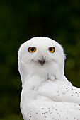 Portrait of a male Snowy Owl at Bird TLC, Anchorage, Southcentral Alaska, Summer. Captive