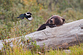 An adult grizzly bear lies on a log and watches a Black-billed magpie flying a few feet away from its face, Alaska Wildlife Conservation Center, Southcentral Alaska, Autumn. Captive