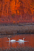 A pair of adult Trumpeter Swans swim in Potter Marsh off Seward Highway at sunset, near Anchorage, Southcentral Alaska, Autumn