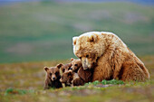 Grizzly Bear sow w/4 young cubs near Moraine Creek Katmai National Park Southwest Alaska Summer