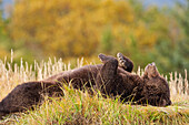 Grizzly relaxed and resting on its back along a river bank at Hallo Bay, Katmai National Park, Alaska