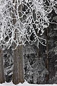 Hoar frost on deciduous and conifer trees at Russian Jack Park golf course in Anchorage, Southcentral Alaska, Winter