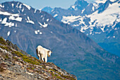 A Mountain Goat near Exit Glacier's Harding Icefield Trail is on a steep hillside, Kenai Fjords National Park, Kenai Peninsula, Southcentral Alaska, Summer