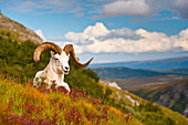 Adult Dall sheep ram resting on a hillside on Fall tundra near Savage River Valley in Denali National Park and Preserve, Interior Alaska, Autumn