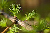 Macro of Larch needles emerging during Spring, Anchorage, Alaska