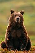 Grizzly Bear near Hwy Pass Denali Natl Park Interior AK summer portrait