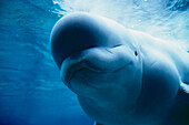 Underwater close up view of a captive Beluga Whale swimming near the surface at the Pt. Defiance Zoological Park in Tacoma, Washington.
