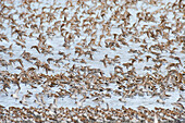 Western Sandpipers in mid-flight over Hartney Bay Cordova in Southcentral Alaska Spring
