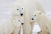 Portrait of two yearling Polar Bear (Ursus maritimus) cubs sitting with their mother in Churchill, Manitoba, Canada, Winter