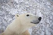 An adult Polar Bear (Ursus maritimus) stands on it hind legs and looks curiously into the camera, Churchill, Manitoba, Canada, Winter