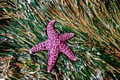 Purple Sea Star on a bed of Eel grass Southeast Alaska