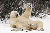 Polar Bear lying on back with left paw raised at Churchill, Manitoba, Canada.