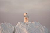 Arctic Fox stands in late afternoon sun on top of a large chunk of ice, Churchill, Manitoba Canada, Winter