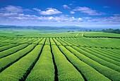 Green tea farm, Jeju Island