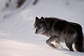 Alberta, Canada, Female Grey Wolf Walking Through The Snow