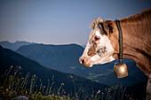 Cow standing on an alpine pasture, Moutain Landscape, Austria