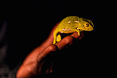 Chameleon on a human hand at night in red spotlight, Liwonde National Park, Malawi, Africa