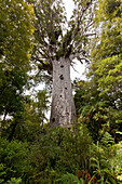 blocked for illustrated books in Germany, Austria, Switzerland: Tane Mahuta, Giant kauri tree, Agathis australis, in Waipoua Forest, Northland, North Island, New Zealand