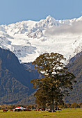 blocked for illustrated books in Germany, Austria, Switzerland: giant tree in front of mountain scenery, Fox Glacier, Southern Alps, South Island, New Zealand