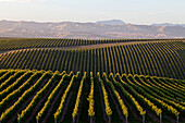 blocked for illustrated books in Germany, Austria, Switzerland: Rows of vines and vineyards from the Yealands Estate, Winery in Awatere Valley, South Island, New Zealand