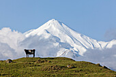 blocked for illustrated books in Germany, Austria, Switzerland: Dairy cow standing on a pasture in front of Mt Egmont volcano, Mount Taranaki, North Island, New Zealand