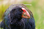 blocked for illustrated books in Germany, Austria, Switzerland: Takahe with red beak, Porphyrio hochstetter, rare, flightless, native bird indigenous to New Zealand, New Zealand