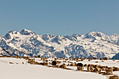 Livestock with winter feed at Arthurs Pass, herd of sheep and cattle in snow, Southern Alps, South Island, New Zealand