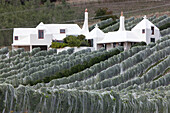 Rows of vines covered in nets, Nets protect the grapes, Buck family home in the background from architect Athfield, wine growing, Te Mata Winery, Hawkes Bay, North Island, New Zealand
